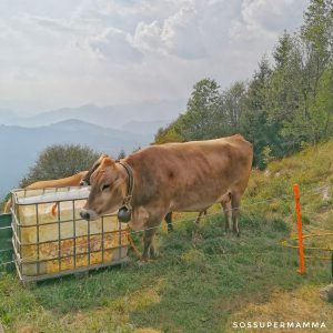 Mucche al pascolo - Foto di Sossupermamma -